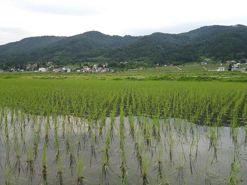 田んぼの稲の様子