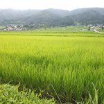 稲の生育の様子
