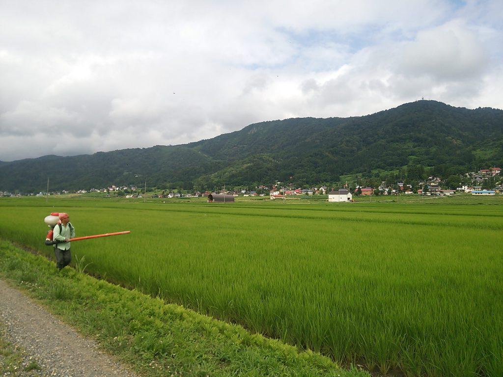 稲の追肥作業