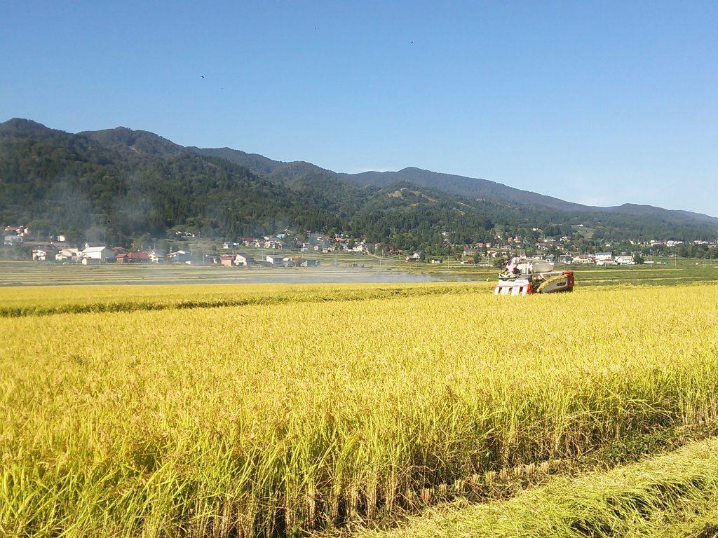 稲刈り15日目