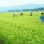 雑草取り作業