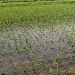 田植え26日後の稲の様子